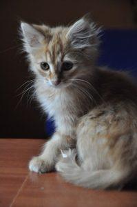 angora chaton