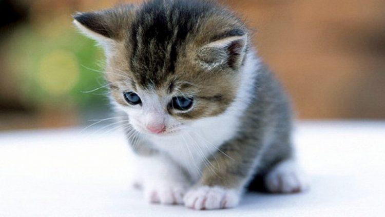 chaton a acheter