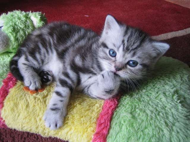 Chaton A Donner Herault