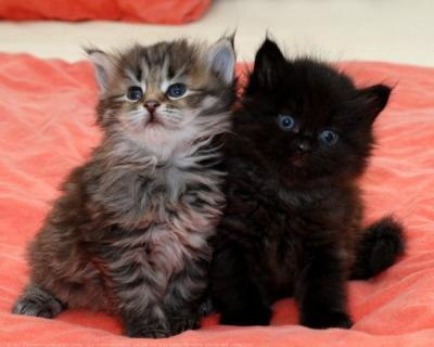 Chaton A Donner Toulouse