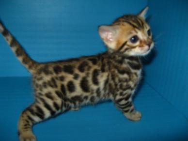 chaton bengal a vendre