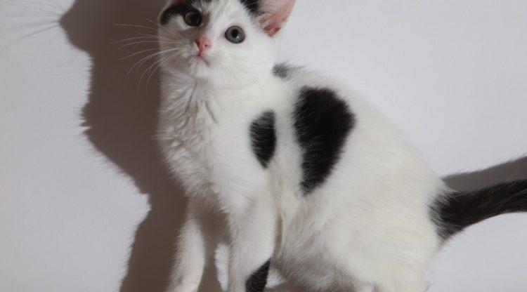 chaton blanc et noir