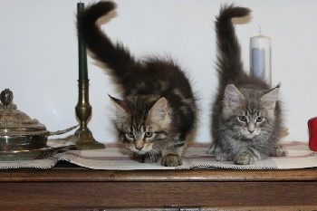 chaton type maine coon