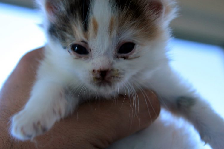 chaton yeux qui coulent