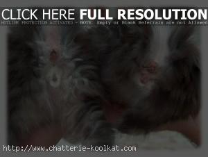 sexe des chatons